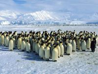 Antarktika'da penguenlerin aşırı ısınma nedeni!