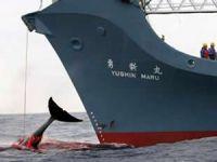 Japon balina avcıları Antarktika'da balina katliamı yaptı