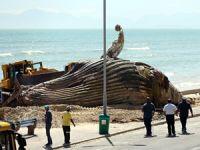 Sahile vuran dev balina yüzünden plaj kapatıldı