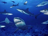 Dakikada 140, günde 201 bin 600 köpekbalığı katlediliyor