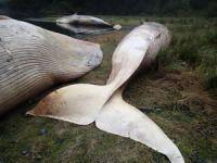 Patagonya 'da 337 balina ölüsü bulundu