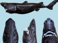 Etrafa ışık yayan yeni bir köpekbalığı türü keşfedildi