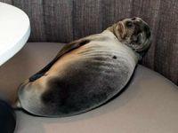 Aç kalan yavru denizaslanı girdiği restoranda uyuyakaldı