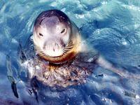 Mersin'de Akdeniz fokları fotokapanlarla izlenecek