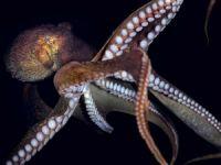 Deniz altının sihirbaz yaratıkları ahtapotlar