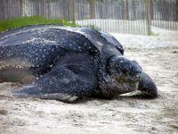 """Mersin sahilinde ilk kez """"Deri sırtlı deniz kaplumbağası"""" görüldü"""