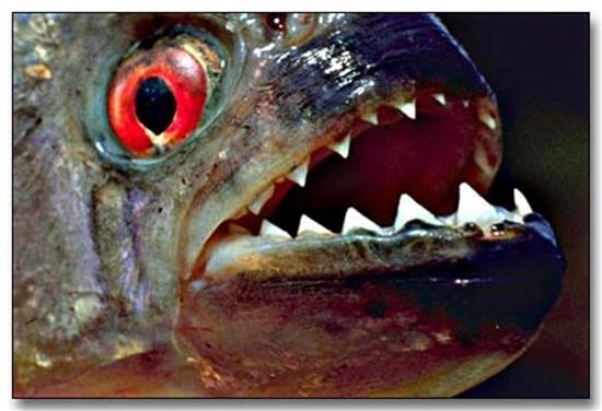 piranha5.jpg
