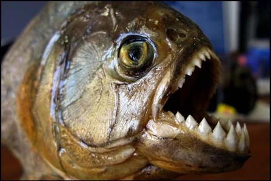 piranha6.jpg