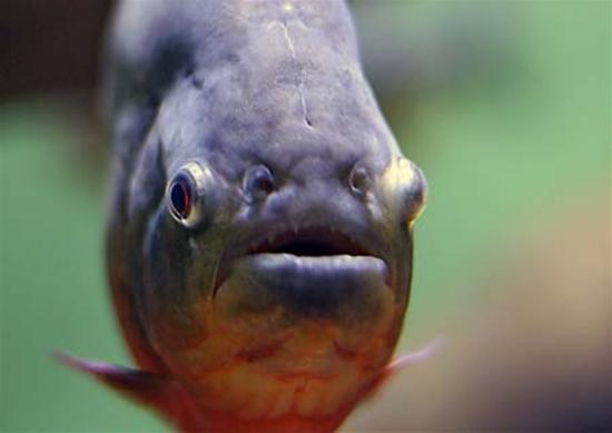 piranha8.jpg