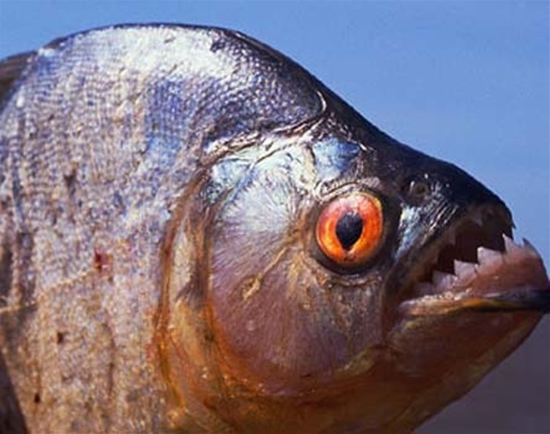 piranha9.jpg