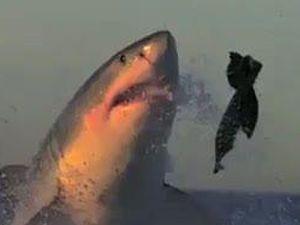 Büyük beyaz köpekbalığının inanılmaz av anı